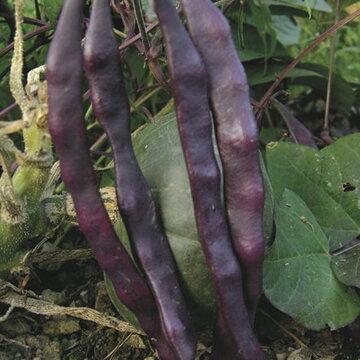 Haricots mangetout - Plat à Cosses Violettes