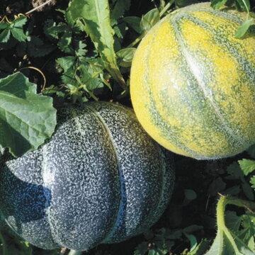 Melons - Petit Gris de Rennes