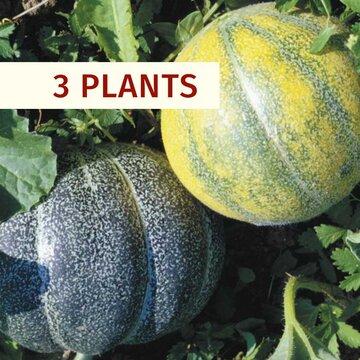 Melons - Plants de Melon Petit Gris de Rennes