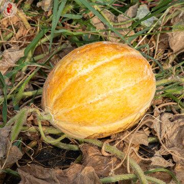 Melons - Amish