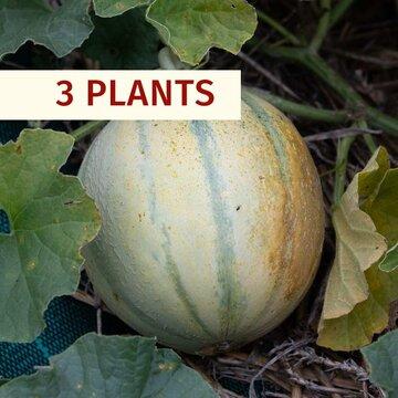 Melons - Plants de Melon Cantaloup Charentais