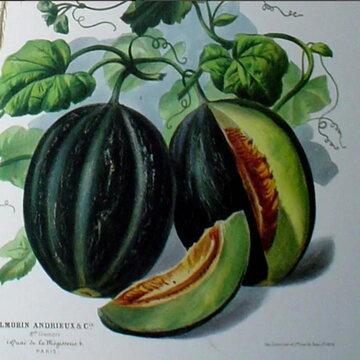Melons - Mélange de Bourgogne