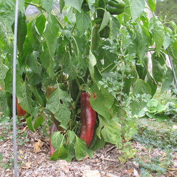 Piments/Poivrons - Italian Red Marconi