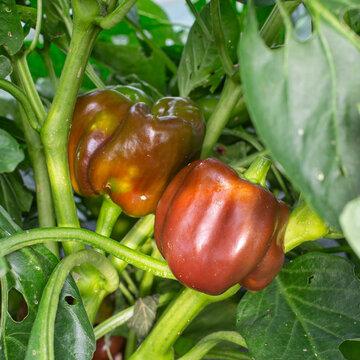 Piments/Poivrons - Choco