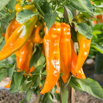Piments/Poivrons - Golden Treasure