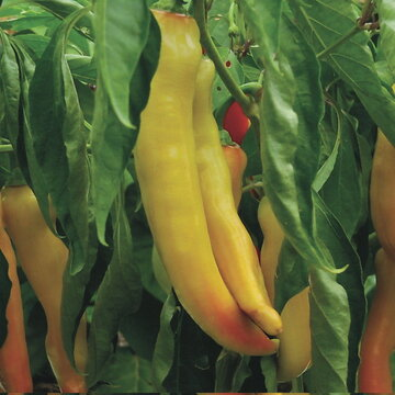 Piments/Poivrons - Yellow Banana Giant
