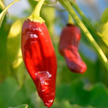 Piments/Poivrons - Tarahumara Chile Colorado