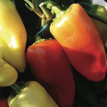 Piments/Poivrons - Suptol