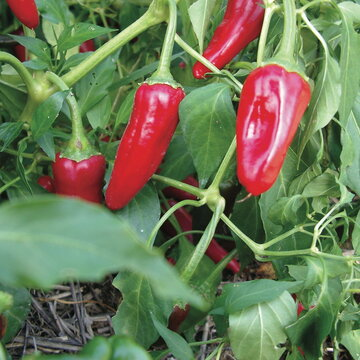Piments/Poivrons - Cochiti