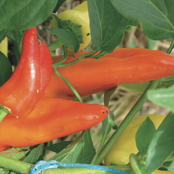 Piments/Poivrons - Hungarian Hot Wax