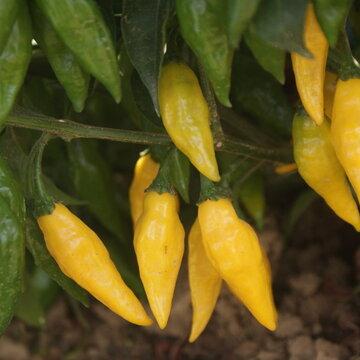 Piments/Poivrons - Limon