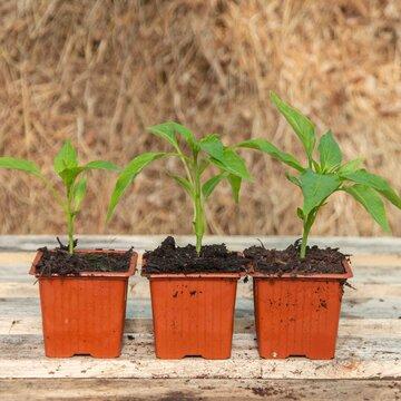 Piments et poivrons - Plants de Piment Fort Rouge d'Espelette
