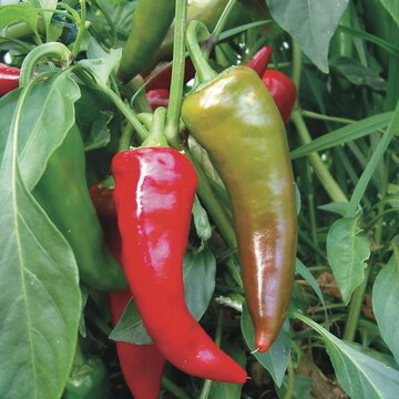 Piments/Poivrons - Georgia Flame