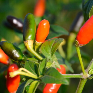 Piments/Poivrons - Coban Chile
