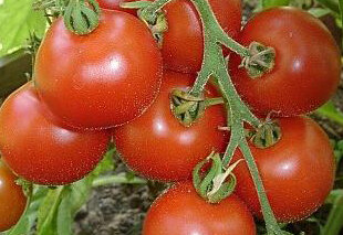 Tomates - Kotlas