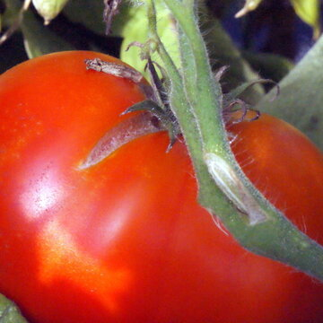 Tomates - Bulgarian Triumph