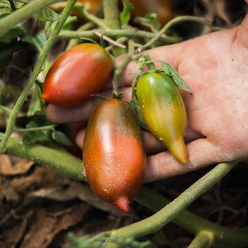 Tomates - Sosulka Chernaya