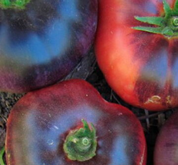 Tomates - Blue Beauty