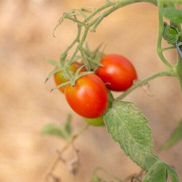 Tomates - De Berao