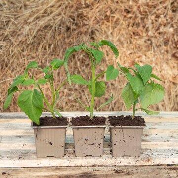 Tomates cerises - Plants de Tomate-Cerise Rouge Délice du Jardinier