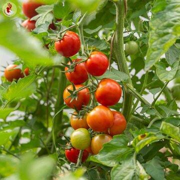 Tomates-Cerises - Muchacha