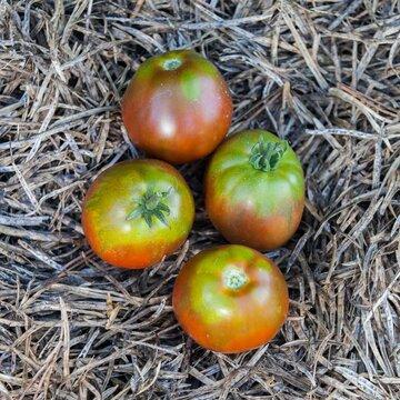Tomates - Japanese Black Trifele