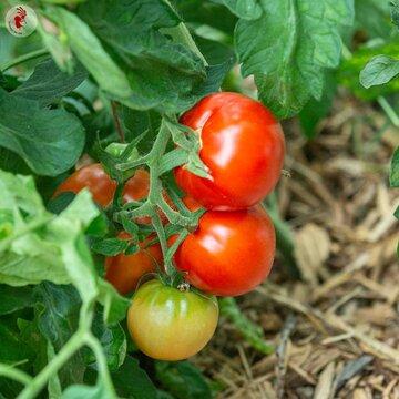 Tomates - Giant Paste