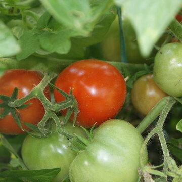 Tomates - Kootenai