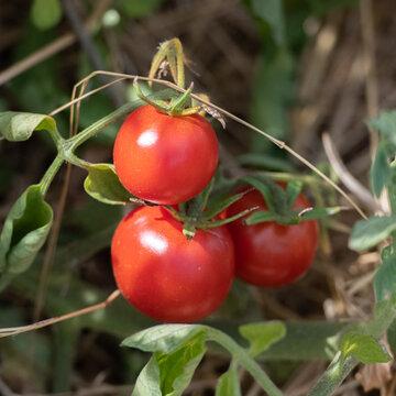 Tomates - Merveille des Marchés