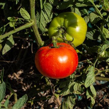 Tomates - Saint Pierre