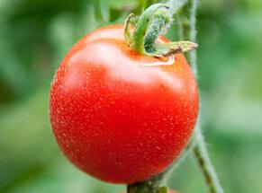 Tomates-Cerises - Velvet Red