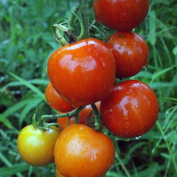 Tomates - Miel du Mexique