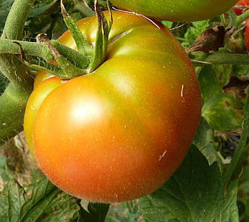 Tomates - Druzba