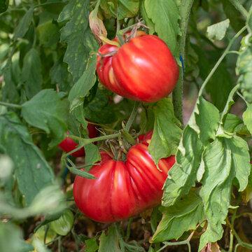 Tomates - Dinner Plate
