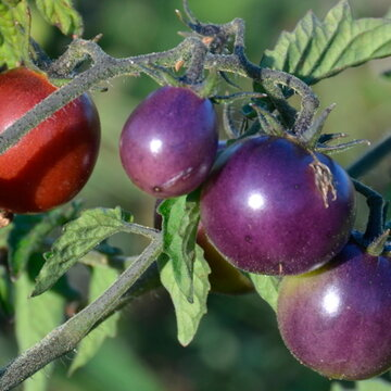 Tomates-Cerises - Blue Pitts