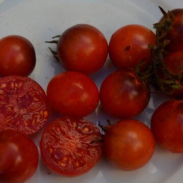 Tomates-Cerises - Blue Tears