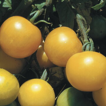 Tomates - Yellow Perfection