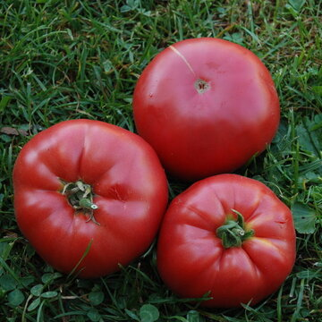 Tomates - Pruden's Purple