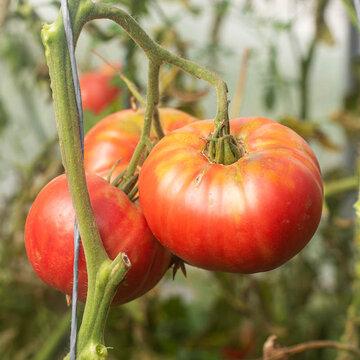 Tomates - 1884