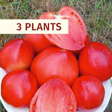 Tomates - Plants de Tomate Rose Cœur de Boeuf Yasha Yougoslavian