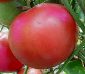 Tomates - Caspian Pink