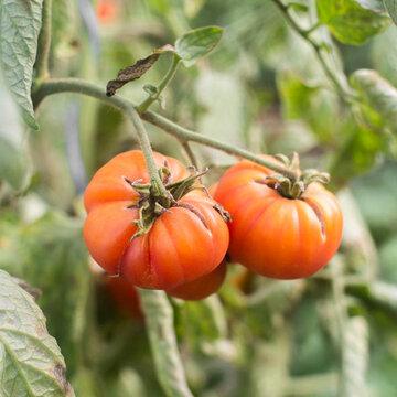 Tomates - Striped German