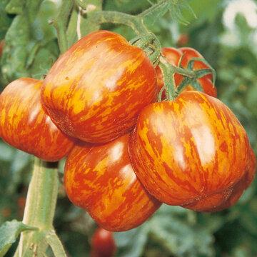 Tomates - Striped Cavern