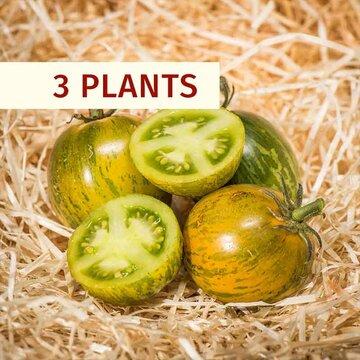 Tomates - Plants de Tomate Verte Green Zebra