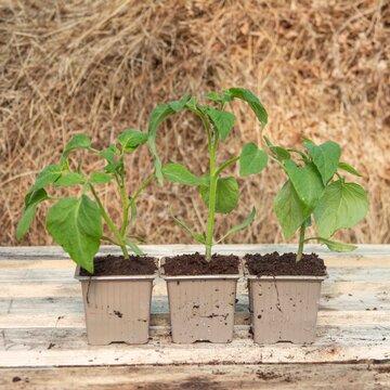 Tomates - Plants de Tomate Noire de Crimée