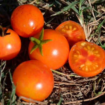 Tomates-Cerises - Isis Candy Cherry