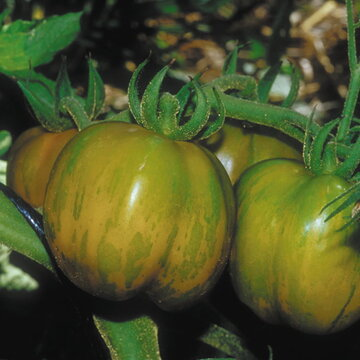 Tomates - Green Bell Pepper