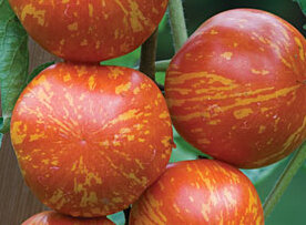 Tomates - Red Zebra