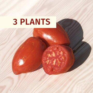 Tomates - Plants de Tomate Bigarrée Speckled Roman