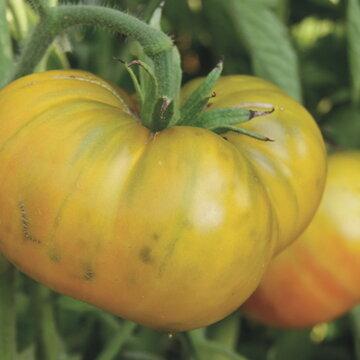 Tomates - Moldovan Green